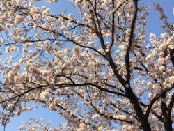 お花見シーズンもすぐそこ!新潟県内のおすすめのお花見スポット