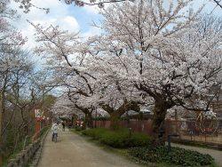 ここは押さえておきたい!富山県の桜の名所