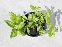 虫除けになる植物ミントを家に置いて虫対策をしよう