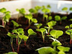 石川、富山、新潟で9月に始める初心者向けの野菜3種