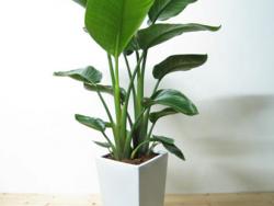 観葉植物オーガスタで乾燥対策