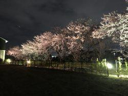 今週末まで!!夜桜鑑賞会開催!