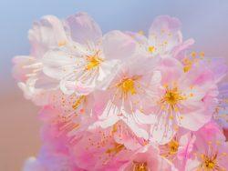 2020年、北陸地方のさくらの開花はいつごろ?