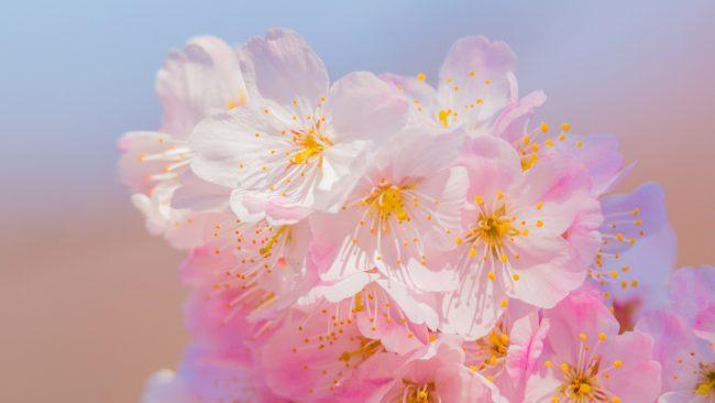 2020年、北陸地方のさくらの開花はいつごろ? | 富山・石川・福井 ...